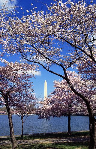 386px-Washington_C_D.C._Tidal_Basin_cherry_trees